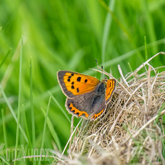Small Copper Butterfly (Sue_Hutton) Tags: july2016 loughborough nanpantanreservoir smallcopperbutterfly summer waterbody wildlife