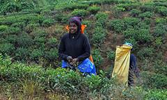 live (Maria Medvedchenkova) Tags: tea work smile woman srilanka nuwaraelia summer travel mountain               foto photo nikon nikond610