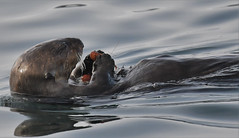 Monterey Bay Sea Otters (larryvenus) Tags: otters seaotters seaotterpup montereybay whalewatching montereycounty nikon nikond500 tamron tamron150600mmlens montereybaywhalewatching gowhales
