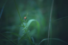 appreciate the little things. (Bilderwense) Tags: natur nature colors colours colorful colourful green dof shallow depth depthoffield tiefenunschärfe tiefenschärfe outdoor nikkor 50mm f18 nikon d5000 bokehrama bokeh smooth soft bokehlicious makro macro macrodreams macromonday schärfentiefe pflanze verschwommen spring gelb grün macromondays marienkäfer ladybug bug insect faune käfer wow