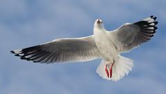 Silver Gull (christinaportphotography) Tags: silvergull chroicocephalusnovaehollandiae gull swansea pelagic nsw australia bird birds wild free flying floating focus dof bokeh red wings legs
