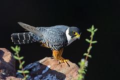 Bat Falcon - cauré  - Falco rufigularis