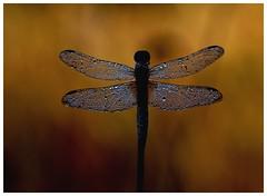 Une broche en diamants - Brooch diamonds (isabelle.bienfait) Tags: dragonfly libellule dew morningdew rose sigma105 nikond7200 macro nature bijou jewel diamants daimonds ambiancematinale naturaljewellery bokeh couleurs colors ailes wings