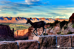 SUNSET JUST ABOVE TOWN (Aspenbreeze) Tags: coloradonationalmonument coloraodowildlife colorado wildlife bighornsheep juvenilebighornsheep bighorns grandjunctioncolorado animal outdoors rural country mountains sky bevzuerlein moonandbackphotography aspenbreeze