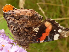 x P2530102c Red Admiral .. feeding on Purple Buddleia  .!!.  ~ : : ~ Glorious iridescence!..such COLOUR!! ~ : : ~ (Erniebobble::) Tags: erniebobble 2016 nature newforest wildlifegarden wildlife butterfly wings lepidotera bct colours edge education study portrait textural shape summer suspended feeding green environment ecosystem biodiversity balance harmonious peaceful gentle restful tranquil transient fleeting metamorphosis climate endangered pollination nectar secretworld painting pattern surface art above weather ephemeral biomarkers changing chrispackham garden transition