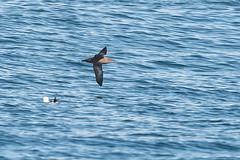 Sooty-shearwater1 (lnrwildphoto) Tags: bird shearwater sooty seabird scilly isles nikon 600mm sigma 300mm f28 pelagic