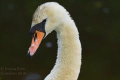 Mute Swan - Cygnus olor (jessica.rohrbacher) Tags: mute swan cygnus olor anatidae bird avian animal vancouver britishcolumbia canada