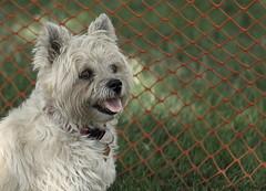 Dog Days, Cantigny Park. 16 (EOS) (Mega-Magpie) Tags: canon eos 60d outdoors cute dog puppy cantigny park wheaton il dupage illinois usa america