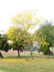 gold tree (oneroadlucky) Tags: plant flower tree nature yellow      goldentrumpettree tabebuiachrysotricha yellowpui