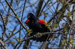 Red-winged Blackbird (David Brown Raleigh) Tags: blackbird redwingedblackbird birdcall