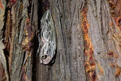 ubatamamushi_dsc_0843 (takao-bw) Tags: japan insect metallicwoodboringbeetle