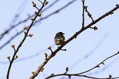 Hirosaki Park (shp2100) Tags: park bird spring nikon shrine  cherryblossom sakura hirosaki tamron ume