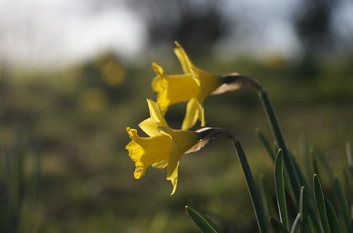 Daffodils only ©  Still ePsiLoN