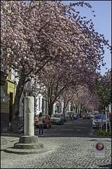 Bonn-Kirschbluete-20 (kurvenalbn) Tags: deutschland bonn pflanzen blumen nordrheinwestfalen frhling kirschbluete