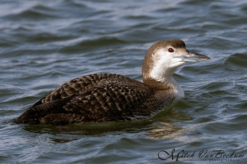 Sheer Loon-acy (Common Loon)