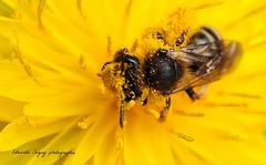 DSC_8116-1- Folle de pollen / Dent de lion- The bee, mad with pollen. (Eduardo Seguy) Tags: polen pollen amigas dentdelion abigfave infinitexposure