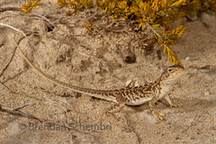 Painted Dragon (Ctenophorus pictus) (Brendan Schembri) Tags: dragon painted australia lizard pictus ctenophorus brendanschembri