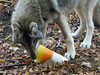 Wolf (3) (bookworm1225) Tags: zoo october 2014 minnesotazoo northerntrail tropicstrail