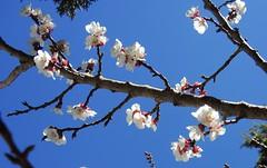 Morocco-Almond Blossoms