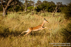 Impala Running In The Okavango Delta, Botswana