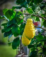 I Limoni del vicino (li regalo ad Anna) (iw2ijz) Tags: flowers italy yellow lemon italia market fiori mercato limoni boscone gialli cesano agrumi