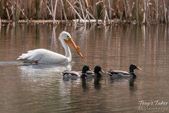 Pelican and ducks swim in formation