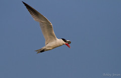 Caspian Tern (AshleyJensenAvianPhotography) Tags: wild ontario canada bird nature birds fishing wildlife diving northamerica tern caspiantern