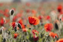 _MG_5826 (2) (arapaci67) Tags: naturaleza primavera flor amapola camporojored
