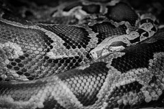 Two Snakes. Not One. (KevinCollins00) Tags: blackandwhite ontario canada zoo nikon snake boa peterborough riverview d7100