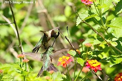 Ruby-throated Hummingbird Fight - Bayou Courtableau, Louisiana (Image Hunter 1) Tags: pink flowers red orange green bird leaves yellow flying fight wings louisiana hummingbird wildlife flight feathers lantana wingspan rubythroatedhummingbird wingspread bayoucourtableau canoneos7dmkii