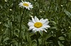 Daisies in the mid-day sun (Bill Dreit) Tags: flowers white green art nature yellow daisies newjersey hamilton groundsforsculpture gfs greenbackground