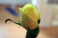 Yellow Rose (tonny.froyen) Tags: flowers flores flower macro fleur beautiful fleurs shopping garden petals blumen casino petal poker bloom blooms fiori blomst bet blomster molde comeon picoftheday floweroftheday flowermagic flowerslovers rbnett flowerstagram flowersofinstagram topbet
