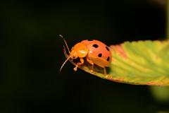 Leaf beetle - Oides decempunctatus 2016(1) (Gomen S) Tags: china summer hk macro nature animal insect island hongkong evening nikon asia wildlife flash tropical 2016 105mmmicro d7100 sb500