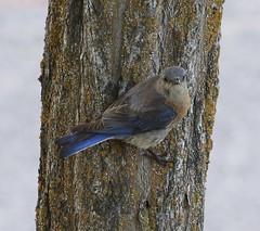 Western Bluebird (Nickel Plate) Tags: westernbluebird idaho