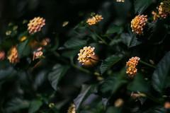 Nara Flowers (Kwame Busia) Tags: flowers bokeh swirly 402 85mm f15 helios plant green yellow