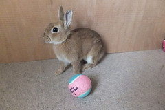 Ichigo san 252 ICHIGO san  (mensore) Tags: brown bunny cute family ichigo netherland dwarf pet rabbit