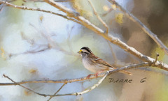 White-throated Sparrow (Diane G. Zooms---Mostly Off) Tags: whitethroatedsparrow dianegiurcophotography