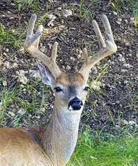 Ten Points of Velvet (brucecarlson66) Tags: morning red brown male fall classic nature beauty grass animal austin pose fur point nose early eyes weeds texas shine outdoor 10 young handsome ears pride velvet neighborhood deer cover rack springs whisker ten bite environment buck sporting majestic fellow dripping alert pest regal confident majesty whitetailed antler wary reddish vigilant odocoileus virginianus texanus