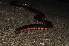 Western Mud Snake (Kevin Hutcheson) Tags: herping herpetology herps reptiles amphibians