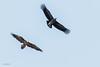 Gypaète barbu agaçant un vautour (sfrancois73) Tags: oiseau faune vautour gypaètebarbu