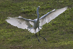 Great Egret in Flight-5 (Scott Alan McClurg) Tags: aalba ardea ardeidae algae animal back backyard bluesky flap flapping flight fly flying glide gliding glow greategret land landing life nature naturephotography neighborhood pond portrait sky summer sun wetlands white wild wildlife