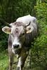 Marguerite (Elo_M.) Tags: travel fauna montagne switzerland cow suisse weekend rando creativecommons animaux wallis vache valais vaches typic typisch creativecommonlicence binntal mouh fäld voyagesweekends creativecommonbysa mysummerinvalais moneteenvalais meinsommerimwallis