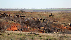 Home On The Range (It Feels Like Rain) Tags: ranch cowboys cowboy texas cattle cows westtexas ranching homeontherange texasranches