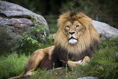 Resting Lion (ErikSWE) Tags: lion cat cats canon 6d sigma 600 contemporary nature zoo animal thebiggestgroupwithonlycats