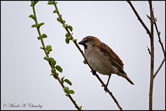The Tiny Sparrow! (MAC's Wild Pixels) Tags: kenya nairobi sparrow birdwatcher lifer wildbird beautifulbird nairobinationalpark colourfulbird wildafrica birdsofeastafrica rufoussparrow macswildpixels thetinysparrow