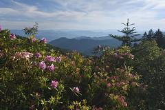 Along the Blue Ridge Parkway (jkrieger84) Tags: nikon d500 landscape nature flower mountains clouds blueridgeparkway rhododendron