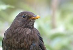Blackbird (F) (Tom Kennedy1) Tags: turdusmerula blackbird gardenbirds gardenwildlife thrushes irishwildlife irishwildbirds
