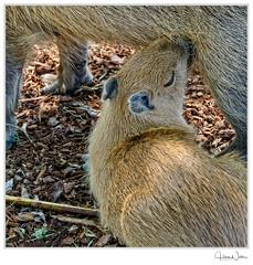 1607-20027_DxO (nafot) Tags: tiere sugetiere rapperswiljona sanktgallen schweiz ch nafot hansnater capybara