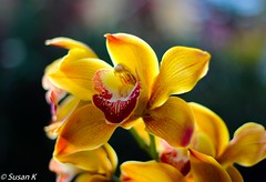 Golden Orchid (koaysusan) Tags: orchid flower golden yellow plant beautyofnature