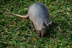 Jardim Botnico So Paulo (luluferrari) Tags: tatu wild wildlife nature brasil so paulo sp eu moro no roa natureza bicho panta